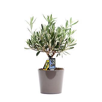 Indendørs anlæg fra Botanisk – Oliventræ – Højde: 40 cm – Olea europeae