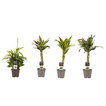 Kamerplanten – 4 × Drakenboom – Hoogte: 45 cm