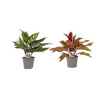 Kamerplanten van Botanicly – 2 × Aglaonema Maria, Aglaonema Crete – Hoogte: 25 cm