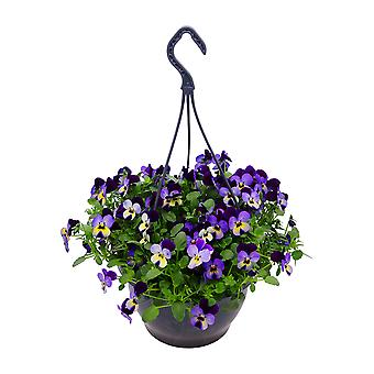 Choice of Green  - Horned Pansy blue-yellowl in hanging pot ⌀ 23 cm  - height ↕ 30 cm - Viola cornuta