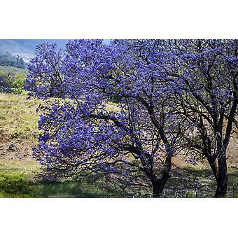 Ein Jacaranda-Baum voller lila Blüten Maui Hawaii Vereinigte Staaten von Amerika PosterPrint
