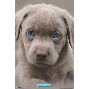 Puppy - Blue Eyes Poster Poster Print