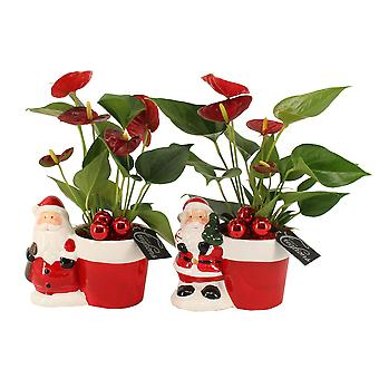 Indoor trees from Botanicly – 2 × Christmas Set – Height: 30 cm