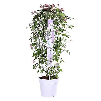 Up! Climbers - Clematis montana 'Fincent'- outdoor plant in grower pot ø 23 cm - height 80-90 cm