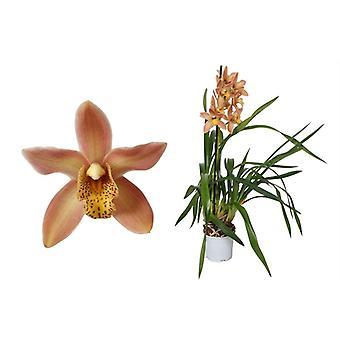 Orquídea de Botânica – Cymbidium Wilhelmina – Altura: 50 cm, 1 caule