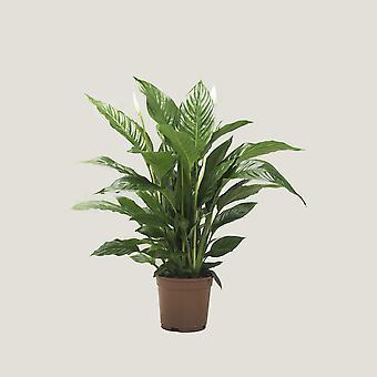 Lepelplant  ↕ 75 tot 76 cm   Spathiphyllum Vivaldi Spa
