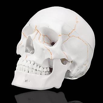 Leben Größe menschliche anatomische Anatomie Kopf Skelett Schädel Lehre medizinisches Modell präzise
