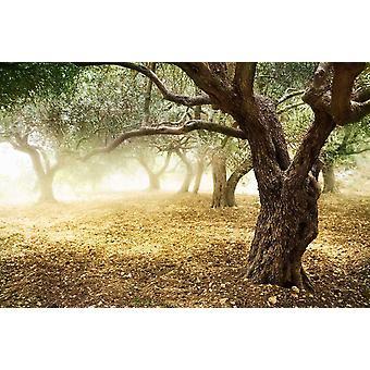 Fondo de pantalla mural viejos árboles de olivo