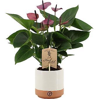 Kamerplant – Flamingoplant in twee toon keramiek pot als set – Hoogte: 36 cm