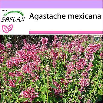 Saflax - 50 graines - hysope géant mexicain - Agastache mexicaine - Anice menta messicana - Toronjil morado - Limonen - Aniskraut