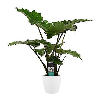 Indendørs anlæg - Alocasia i hvid urtepotte som et sæt - Højde: 90 cm
