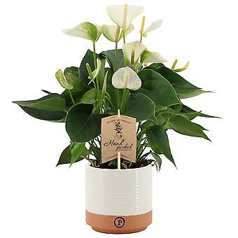 Bloem – Flamingoplant in twee toon keramiek pot als set – Hoogte: 36 cm