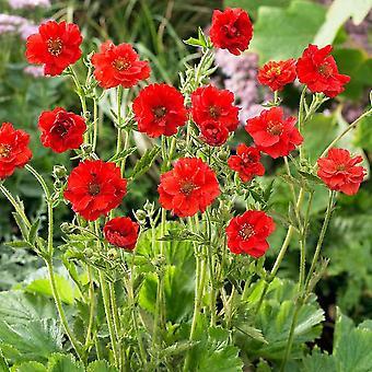 チャングム chiloense ミセス J ブラッド ショー - Avens、9 cm ポットに植物