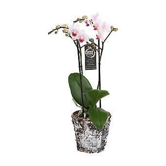 Keuze van Green-Phalaenopsis Amore mio uitbreiding in houten pot-Butterfly Orchid