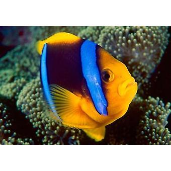 Anemonenfische Great Barrier Reef Australien Poster Print von Stuart Westmorland