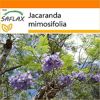 Saflax - Garten in der Tasche - 50 Samen - Jacaranda - extravagante Bleu - Jacaranda - Palisandro - Jacaranda