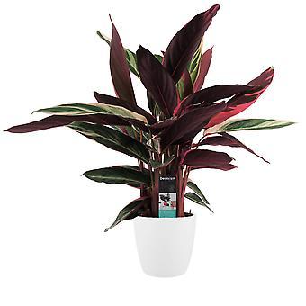 Planta Interior – Calathea Stromanthe Triostar em vaso de planta branca como conjunto – Altura: 85 cm