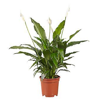 Spathiphyllum Vivaldi Peace Lily - Wysokość 70 cm - Garnek o średnicy 17 cm