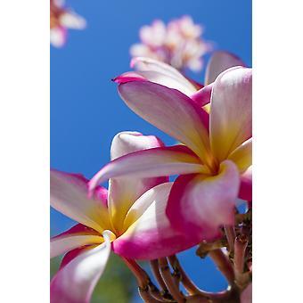 Primo piano di rosa plumeria fiori e cielo blu stampa del manifesto di Lanai Hawaii Stati Uniti d'America da Jenna Szerlag Design Pics