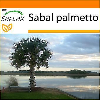 Saflax - giardino nel sacchetto - 8 semi - Palmetto Palm - Chou palmiste - Palmetto - Palmito - Palmettopalme