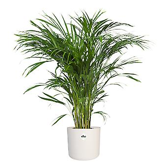 Choice of Green - Areca Dypsis Palm - Golden cane palm in pot white