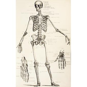 The Human Skeleton From The Household Physician Published Circa 1890 PosterPrint