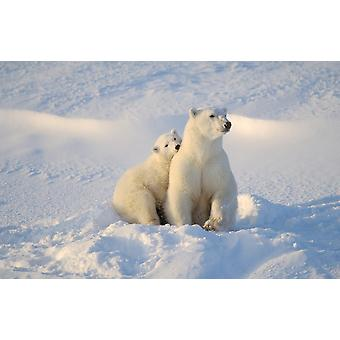Polar Bear And Cub PosterPrint