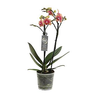 Choix de vert - Phalaenopsis Amore Mio Savion - Butterfly Orchid