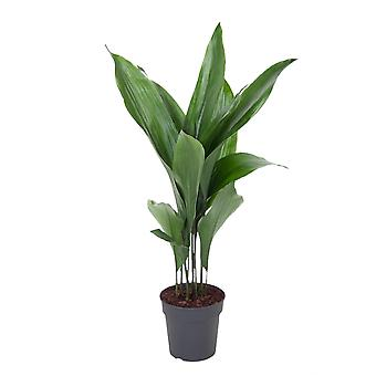 cast iron plant ↕ 60 to 85 cm | Aspidistra