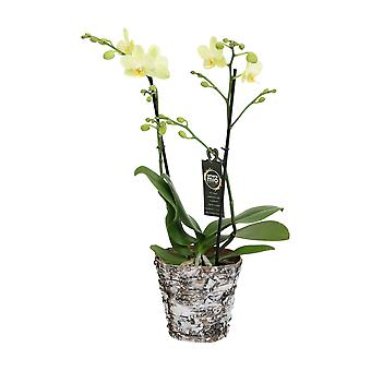 Choix de vert - Phalaenopsis Amore Mio Green Pixie in Wooden pot - Butterfly Orchid