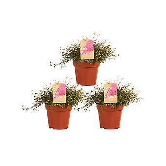 Plantas interiores de Botanicamente – 3 × Muehlenbeckia – Altura: 15 cm – Muehlenbeckia maori