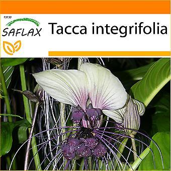 Saflax - giardino in borsa - 10 semi - bianco fiore pipistrello - Plante chauve-souris blanche - Pianta pipistrello bianco - Flor murciélago - Weiße Fledermausblume