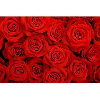 Tapet väggmålning röda rosor