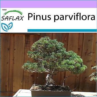 Saflax - 12 siemenet - Bonsai - japanilainen White Pine - Pin blanc du Japon - Pino bianco giapponese - Pino blanco japonés - B - Mädchenkiefer