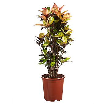 Codiaeum Iceton Croton - Korkeus 100 cm - Halkaisija potti 27 cm