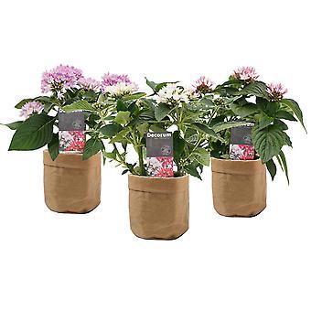 Flores de Botanicly – 3 × Pentas lanceolata Starcluster – Altura: 35 cm