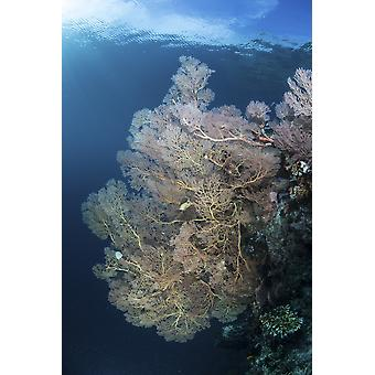 Sunlight illuminates a large gorgonian growing on a reef in Raja Ampat Poster Print