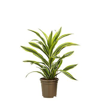 Indoor tree from Botanicly – Dragon tree – Height: 70 cm – Dracaena dermensis Lemon Lime
