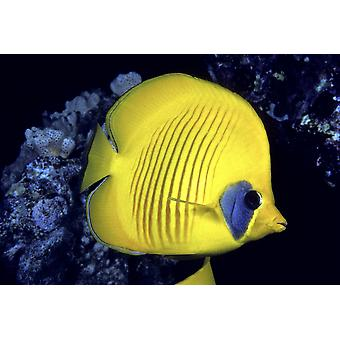 Blue Cheeked Butterflyfish (Chaetodon Semilarvatus) as also known as Masked or Golden Butterflyfish in Red Sea PosterPrint