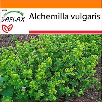 Saflax - jardim no saco - 100 sementes - do senhora manto - Alchémille commune - Erba stella - torta de león – Frauenmantel