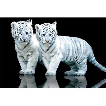 Weißer Tiger Cubs Sos Plakat Poster drucken
