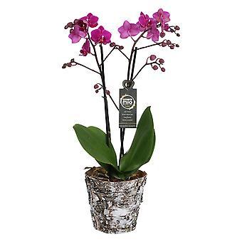 Orquídea – Orquídea borboleta em vaso vegetal de madeira real como conjunto – Altura: 45 cm, 2 hastes, flores rosas