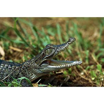 Nya Guinea-krokodil baby nya Guinea Indonesien affisch Skriv av Konrad Wothe