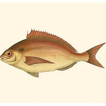 Small Antique Fish III Poster Print by Vision studio (10 x 6)