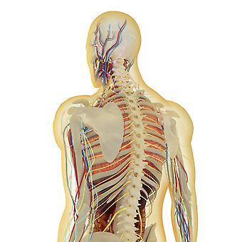 Transparent human body with internal organs nervous system lymphatic system and circulatory system Poster Print