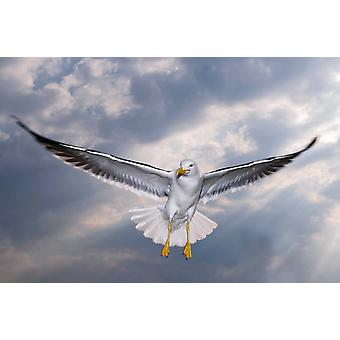 Lesser Black-backed Gull in flight TexelNoord-Holland Netherlands Poster Print by Willi Rolfes