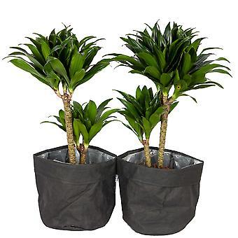 Plantas Interiores – 2 × Árvore dragão em papel preto como um conjunto – Altura: 65 cm