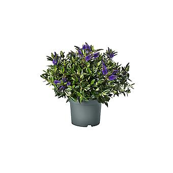 Hedges & Shrubs from Botanicly – Hebe Addenda Donna – Height: 50 cm