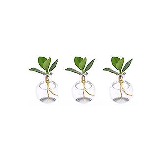 Zimmerpflanzen von Botanicly – 3 × Balsamapfel im Samoa Glas – Höhe: 8 cm – Clusia