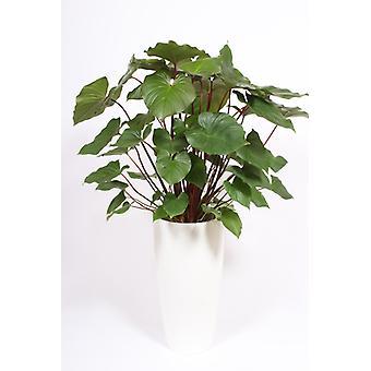 Zimmerpflanze von Botanicly – Homalomena rubescens Maggy in weißem Übertopf als Set – Höhe: 140 cm